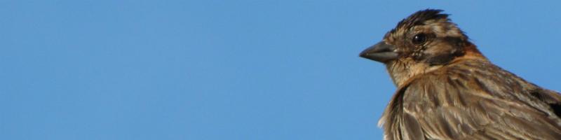 Tico-tico (Zonotrichia capensis)